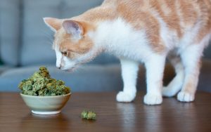 CBD for Your Pet Cats